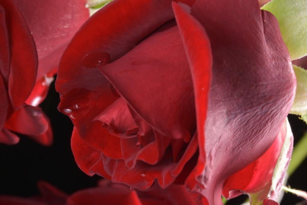 Trandafiri fulgerati (16) (FILEminimizer)