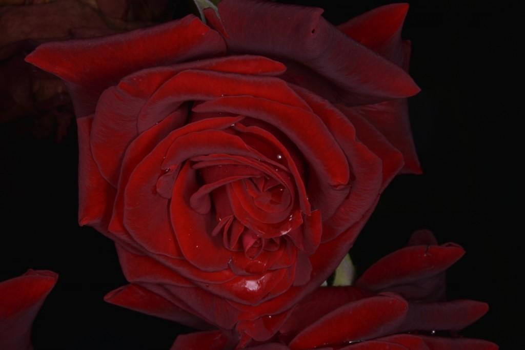 Trandafiri fulgerati (2) (FILEminimizer)