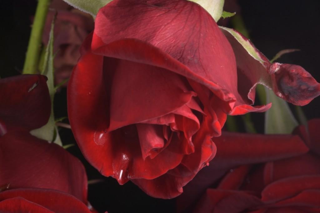 Trandafiri fulgerati (20) (FILEminimizer)