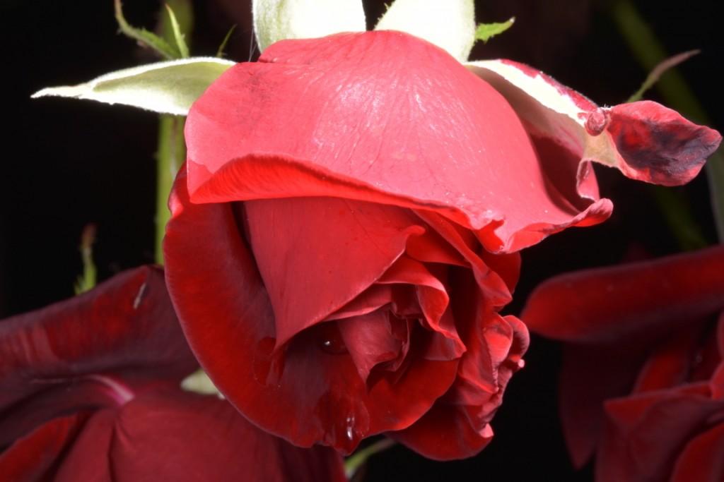 Trandafiri fulgerati (27) (FILEminimizer)