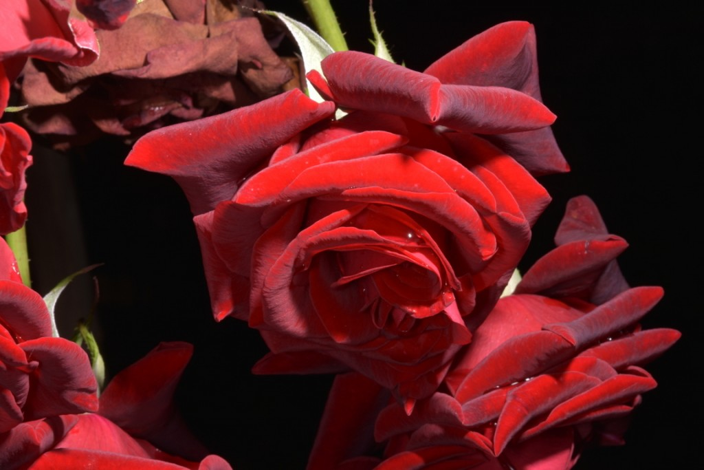 Trandafiri fulgerati (44) (FILEminimizer)