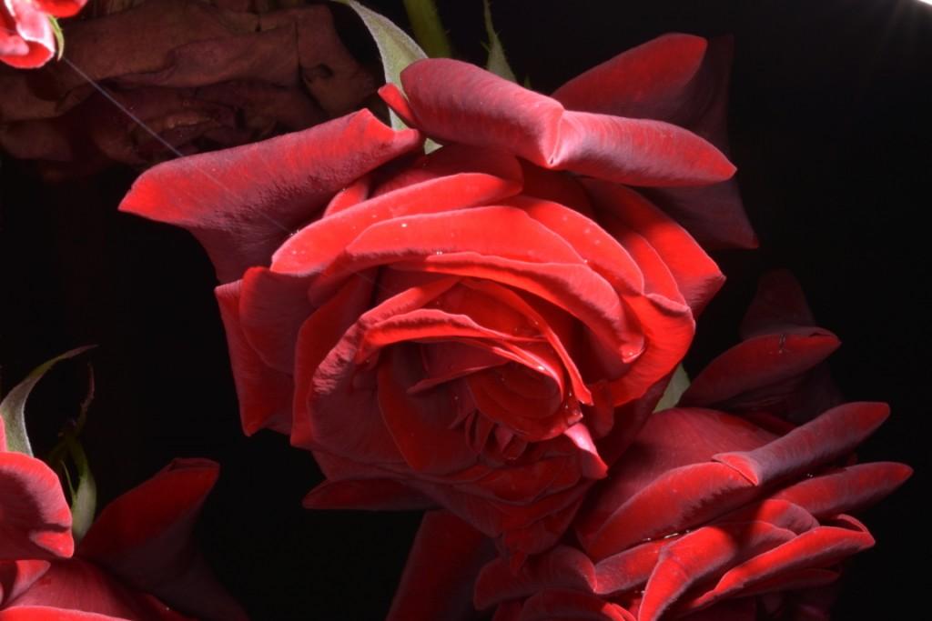 Trandafiri fulgerati (46) (FILEminimizer)