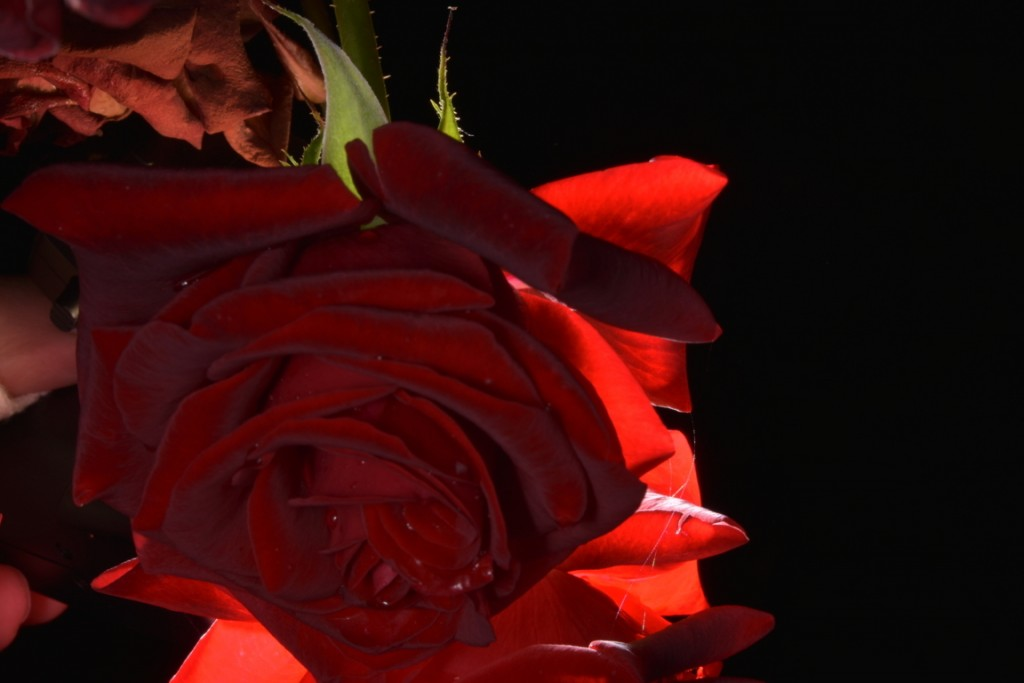Trandafiri fulgerati (47) (FILEminimizer)