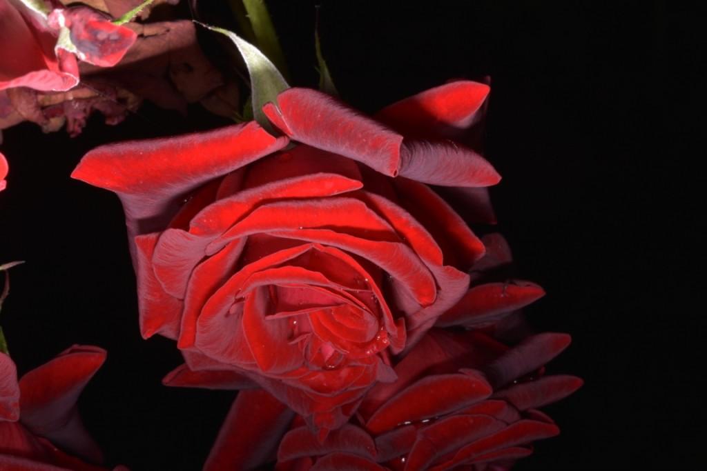 Trandafiri fulgerati (48) (FILEminimizer)