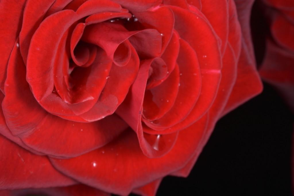 Trandafiri fulgerati (5) (FILEminimizer)