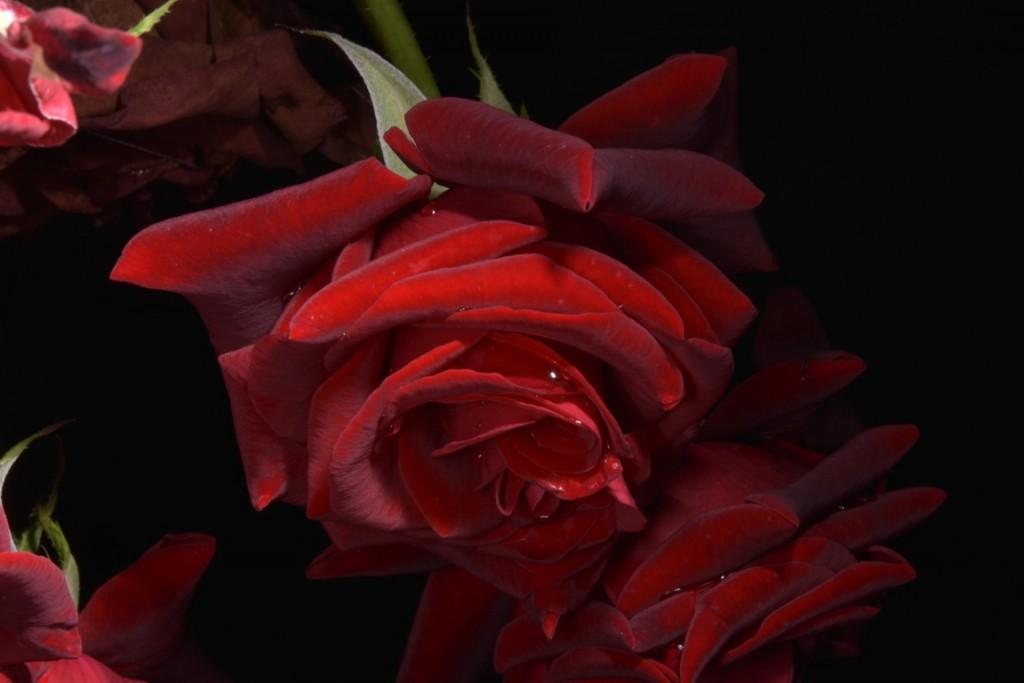 Trandafiri fulgerati (51) (FILEminimizer)