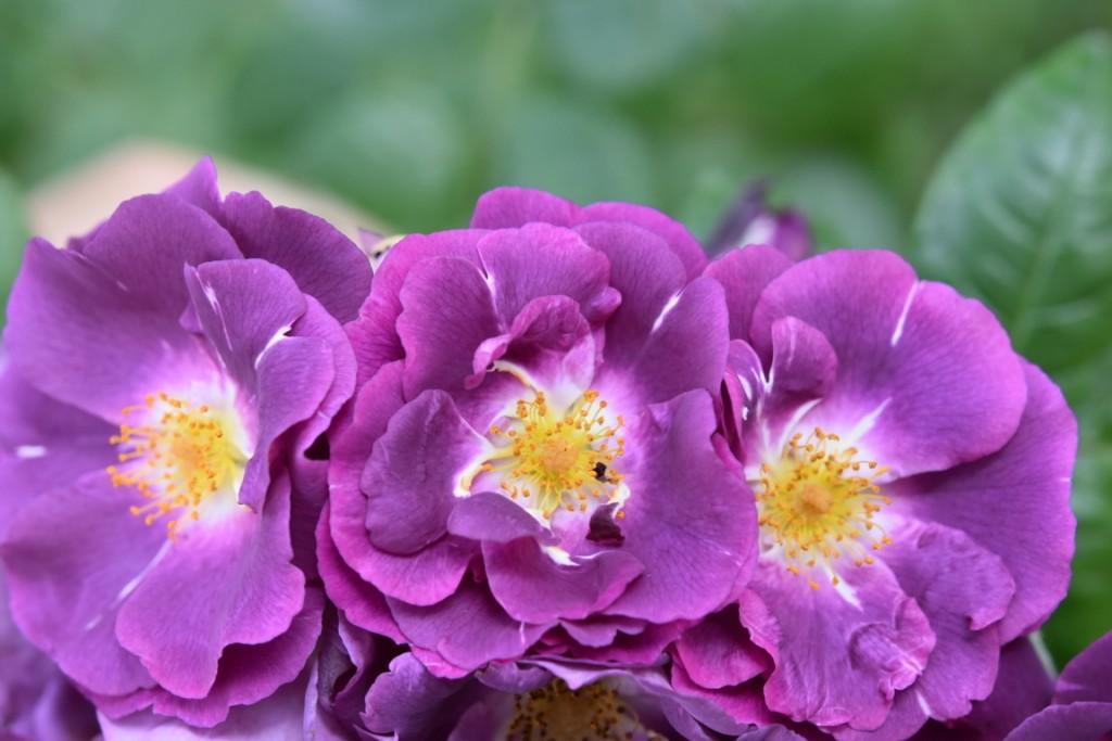Trandafiri pisici si vrabii moarte (37) (FILEminimizer)