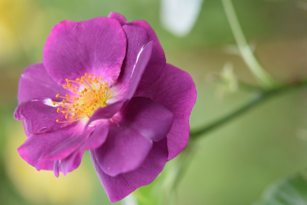 Trandafiri pisici si vrabii moarte (45) (FILEminimizer)
