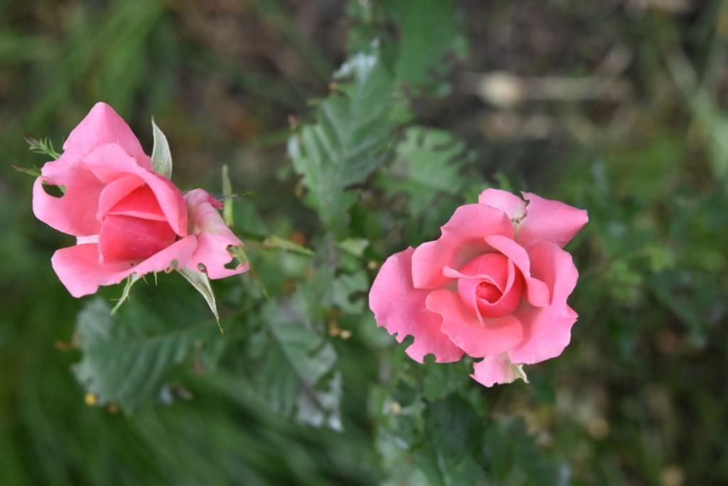 Trandafiri pisici si vrabii moarte (48) (FILEminimizer)