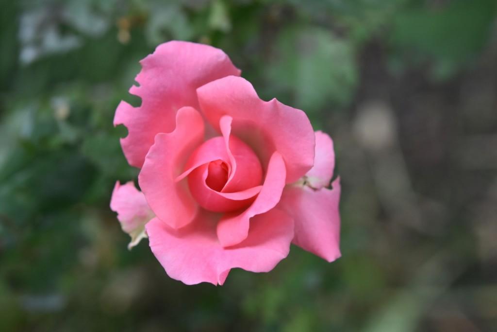 Trandafiri pisici si vrabii moarte (49) (FILEminimizer)