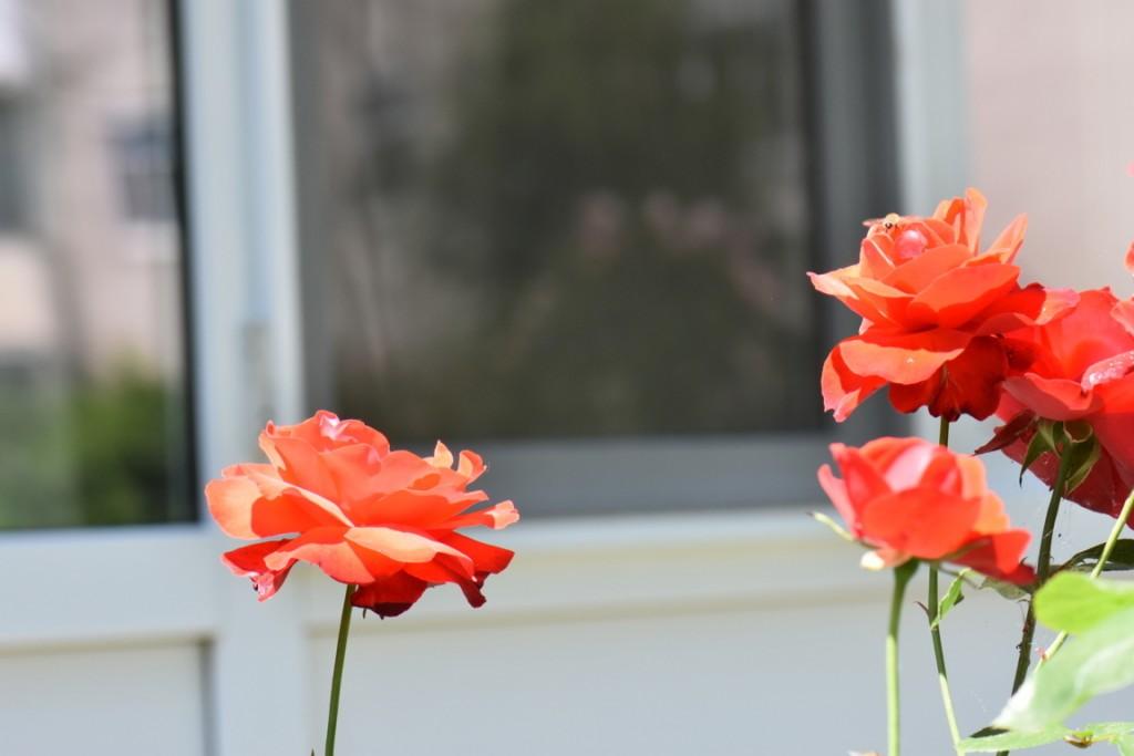 Trandafiri si musafiri (10) (FILEminimizer)