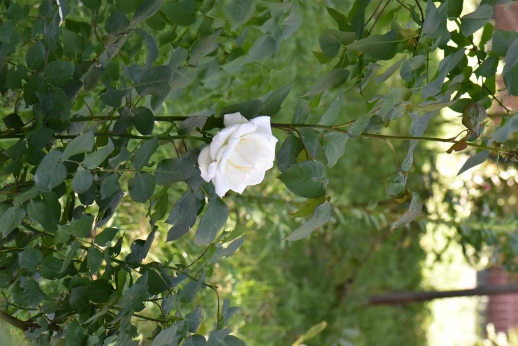 Trandafiri si musafiri (100) (FILEminimizer)