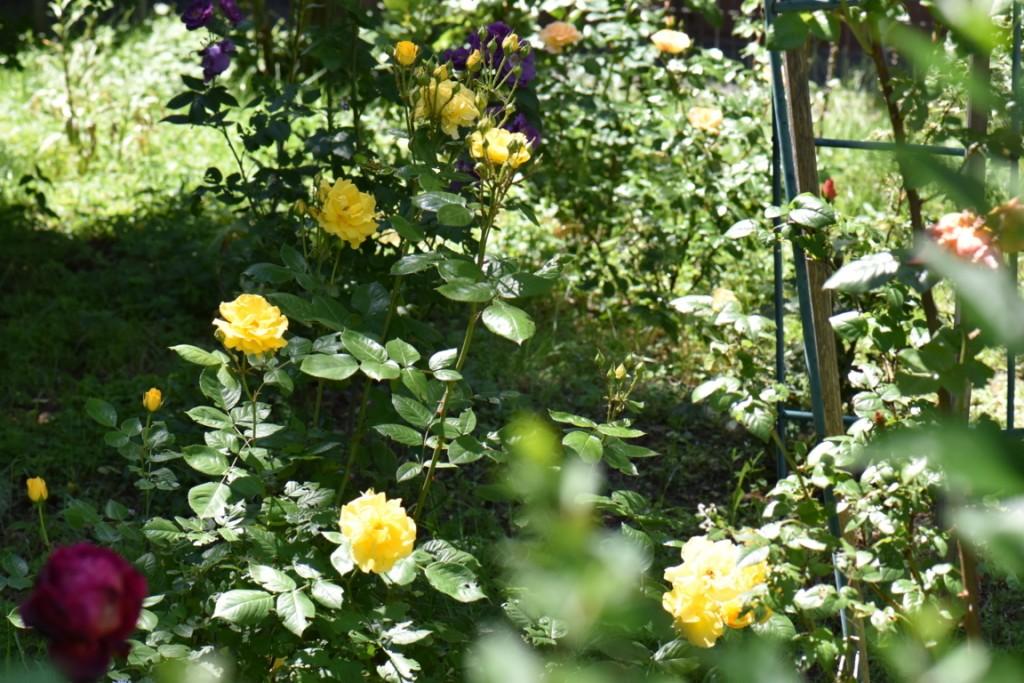 Trandafiri si musafiri (105) (FILEminimizer)