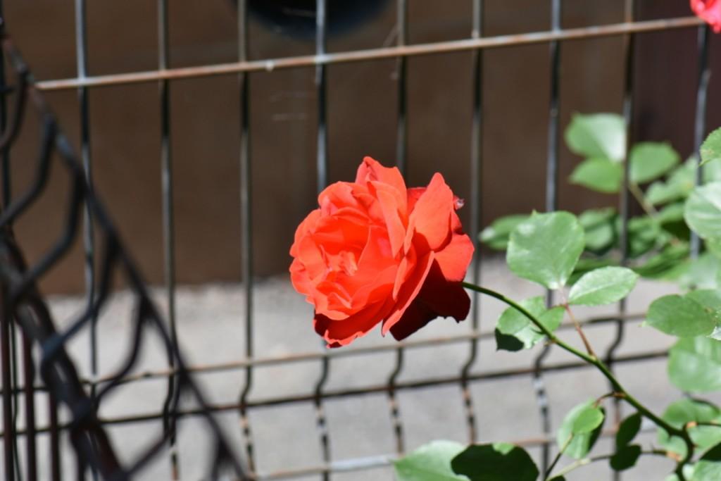 Trandafiri si musafiri (11) (FILEminimizer)