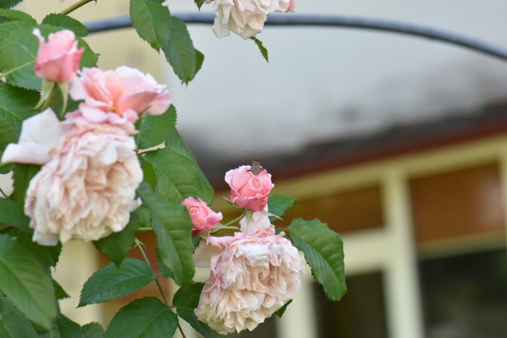 Trandafiri si musafiri (111) (FILEminimizer)