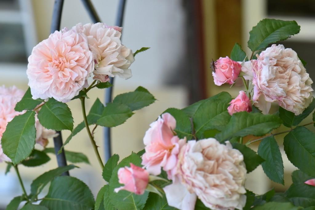 Trandafiri si musafiri (112) (FILEminimizer)