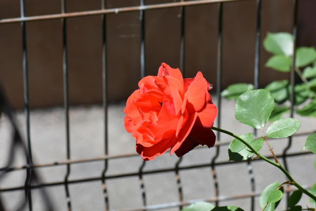 Trandafiri si musafiri (12) (FILEminimizer)