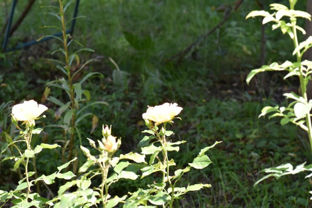 Trandafiri si musafiri (120) (FILEminimizer)