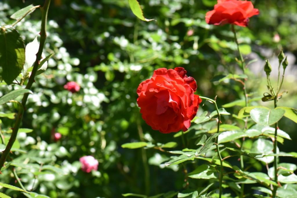 Trandafiri si musafiri (121) (FILEminimizer)