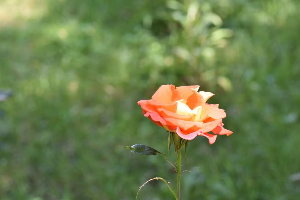 Trandafiri si musafiri (124) (FILEminimizer)