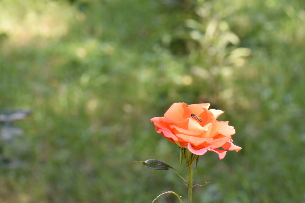 Trandafiri si musafiri (125) (FILEminimizer)