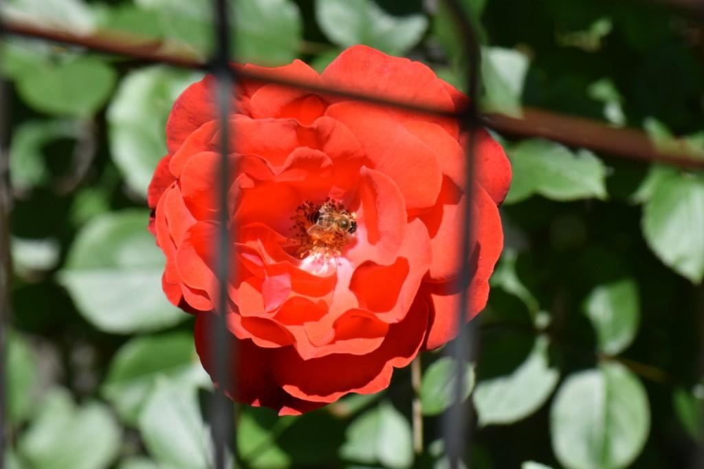 Trandafiri si musafiri (13) (FILEminimizer)