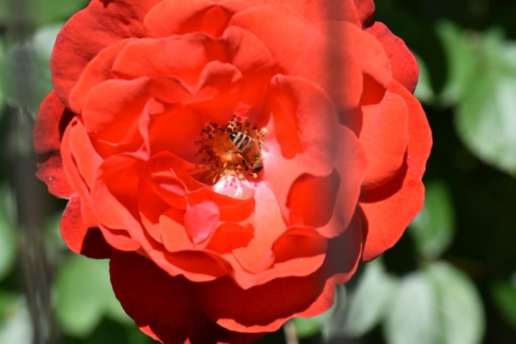 Trandafiri si musafiri (14) (FILEminimizer)