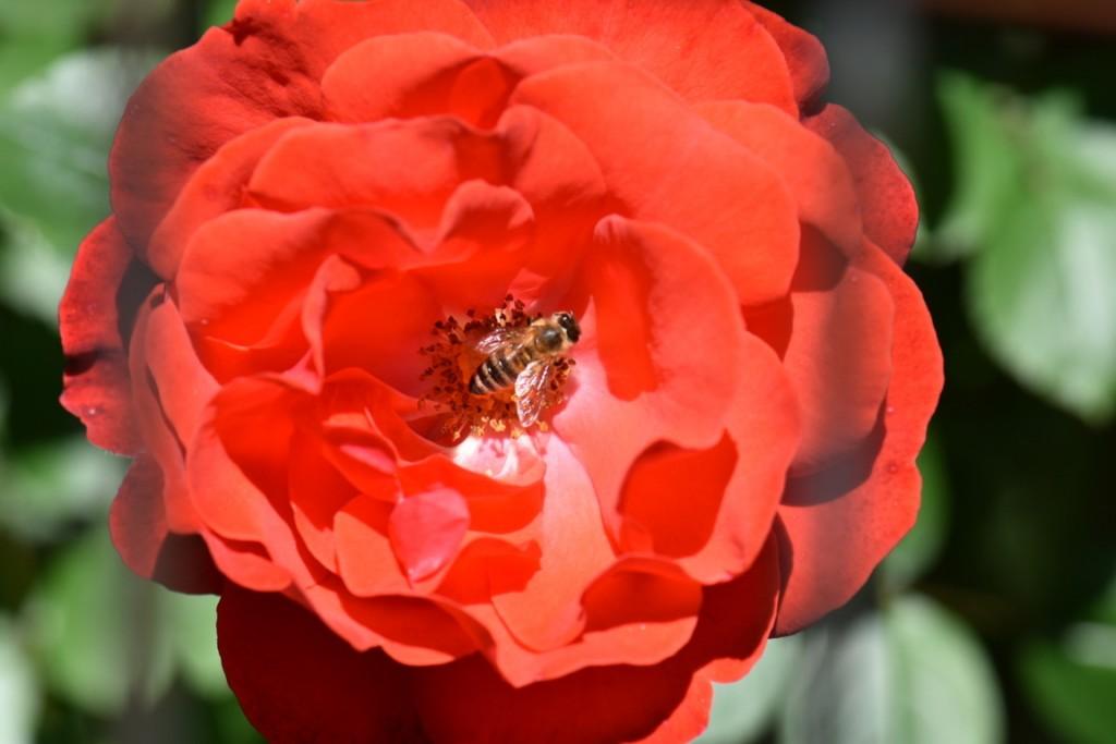 Trandafiri si musafiri (15) (FILEminimizer)