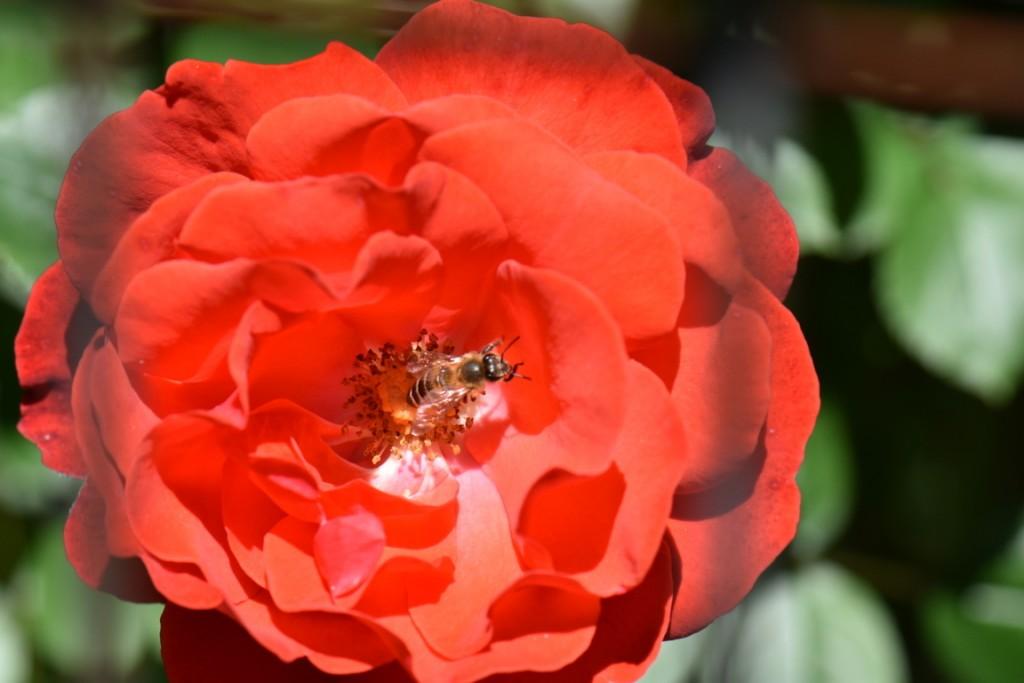 Trandafiri si musafiri (16) (FILEminimizer)
