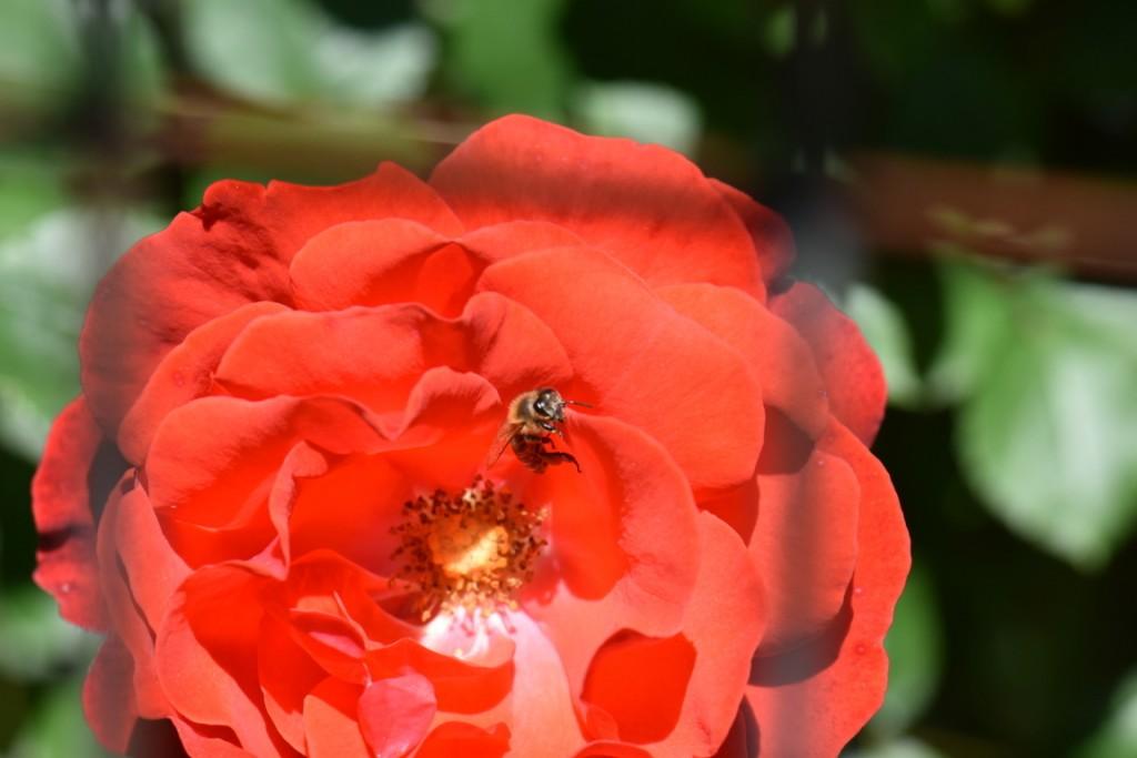 Trandafiri si musafiri (17) (FILEminimizer)