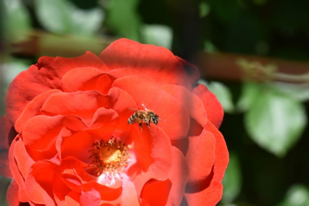 Trandafiri si musafiri (18) (FILEminimizer)