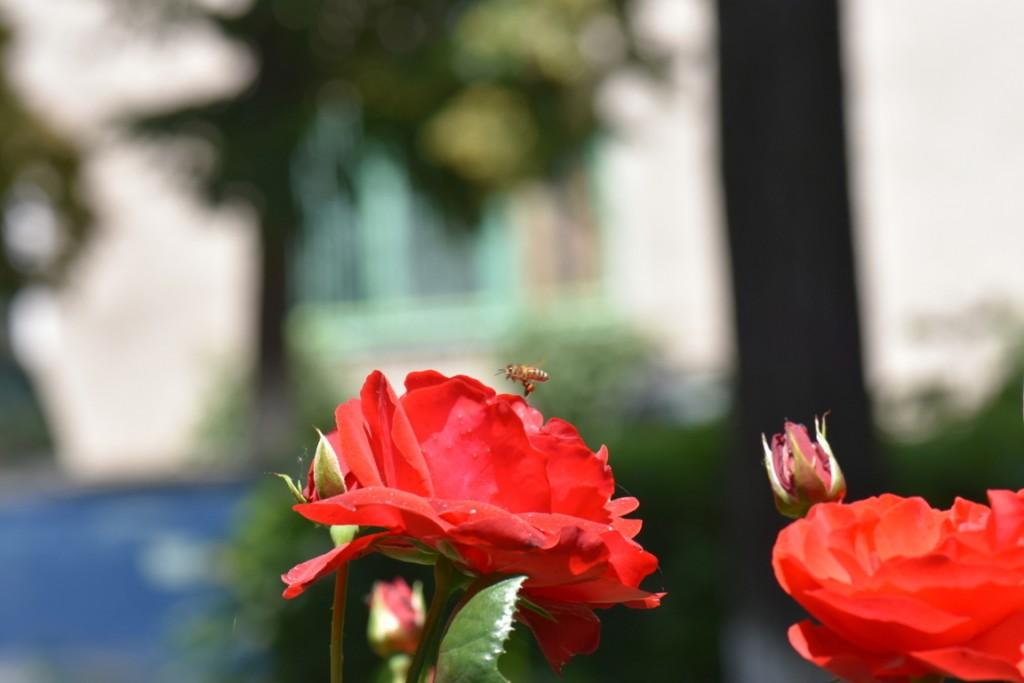 Trandafiri si musafiri (20) (FILEminimizer)
