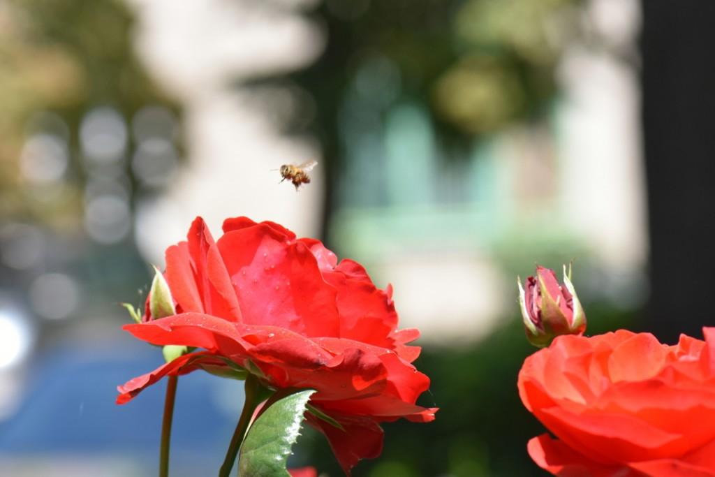 Trandafiri si musafiri (21) (FILEminimizer)
