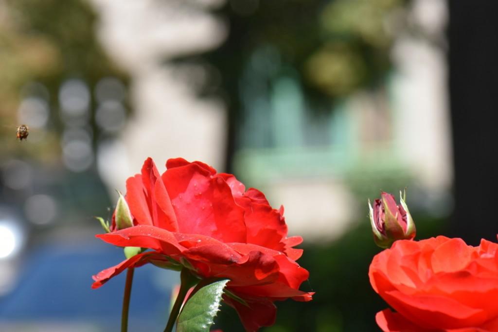 Trandafiri si musafiri (22) (FILEminimizer)