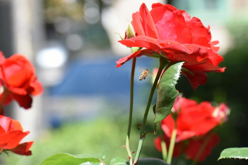 Trandafiri si musafiri (23) (FILEminimizer)