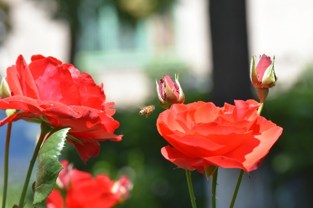 Trandafiri si musafiri (24) (FILEminimizer)