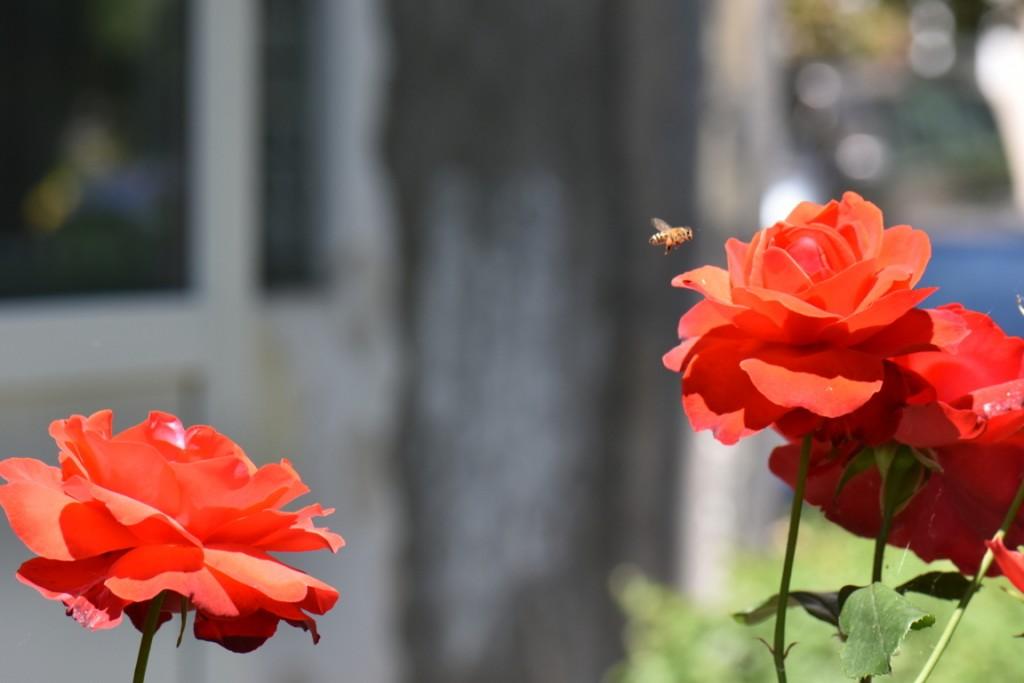 Trandafiri si musafiri (25) (FILEminimizer)