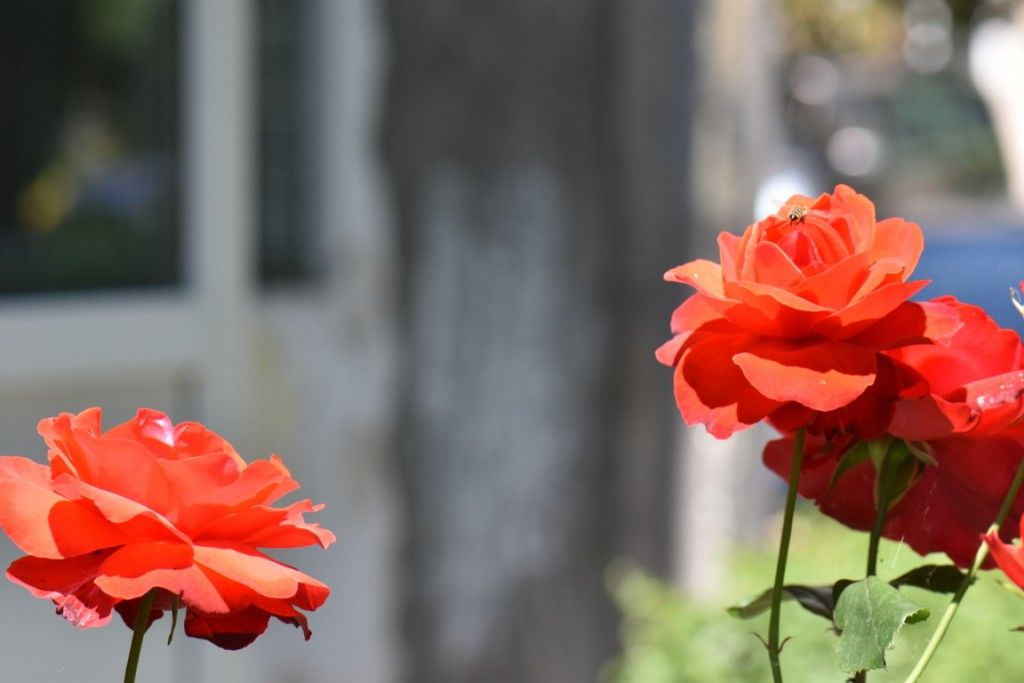 Trandafiri si musafiri (26) (FILEminimizer)