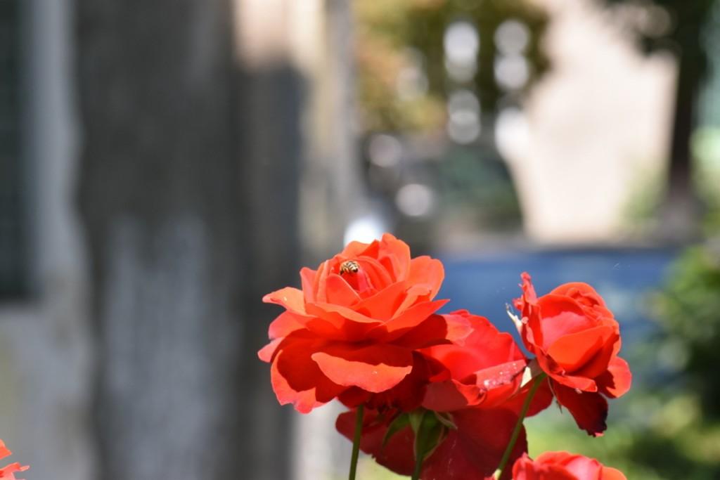 Trandafiri si musafiri (27) (FILEminimizer)