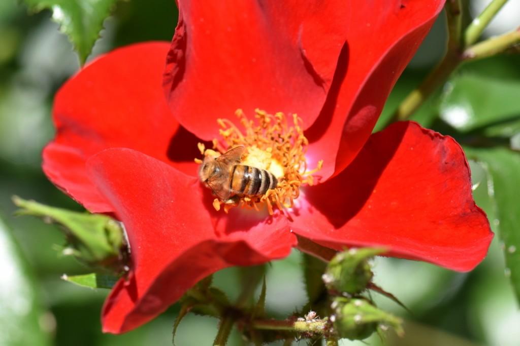 Trandafiri si musafiri (36) (FILEminimizer)