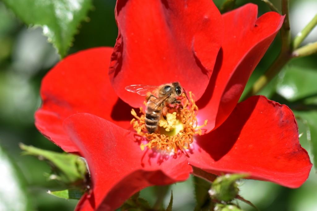 Trandafiri si musafiri (38) (FILEminimizer)