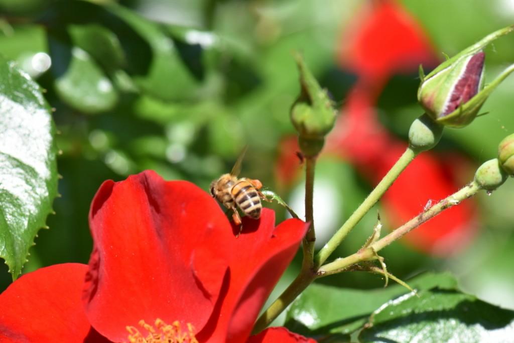 Trandafiri si musafiri (48) (FILEminimizer)