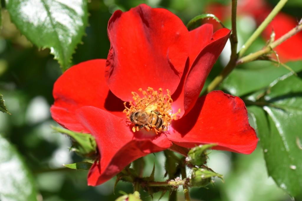 Trandafiri si musafiri (52) (FILEminimizer)