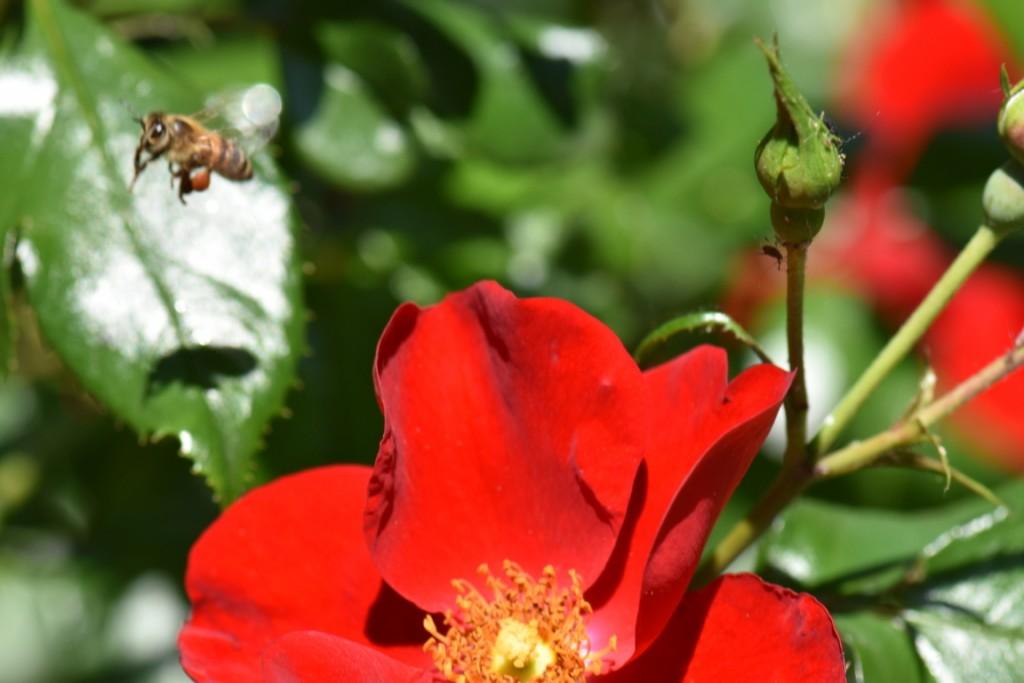 Trandafiri si musafiri (56) (FILEminimizer)