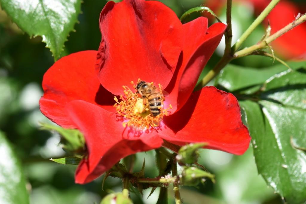 Trandafiri si musafiri (63) (FILEminimizer)