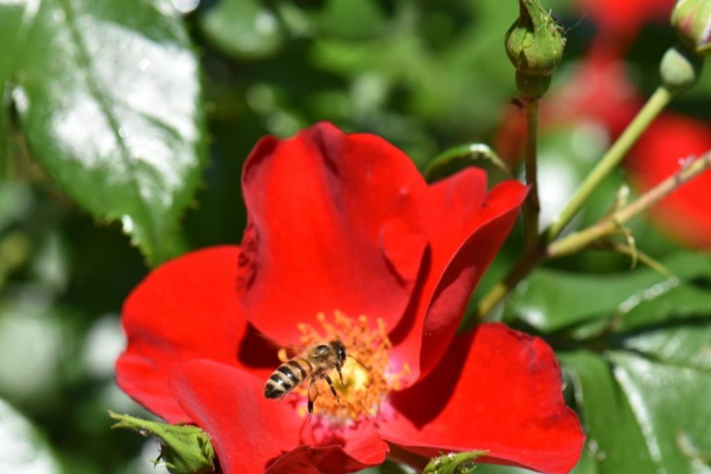 Trandafiri si musafiri (65) (FILEminimizer)