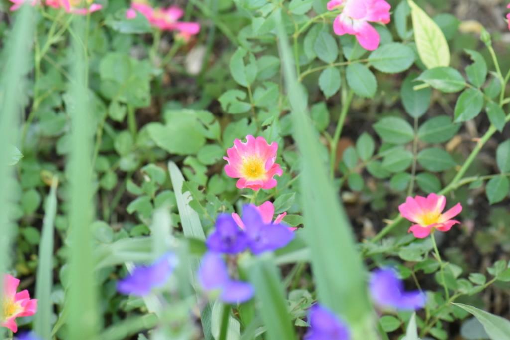 Trandafiri si musafiri (73) (FILEminimizer)