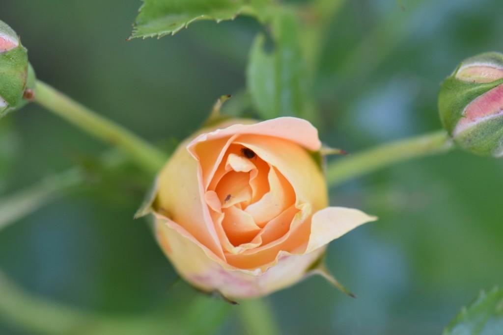 Trandafiri si musafiri (81) (FILEminimizer)