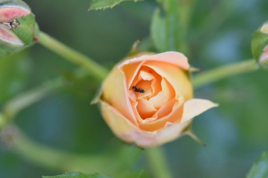 Trandafiri si musafiri (82) (FILEminimizer)