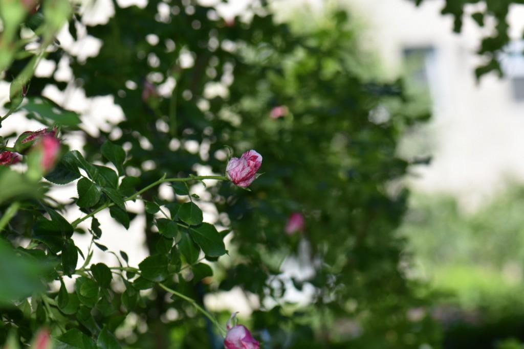 Trandafiri si musafiri (84) (FILEminimizer)